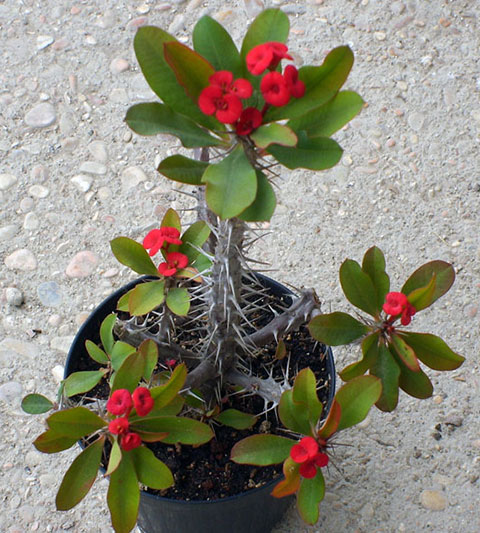 types of succulents crown of thorns