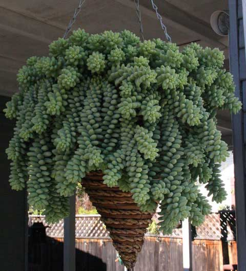burros tail