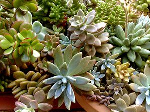 how to propagate succulents