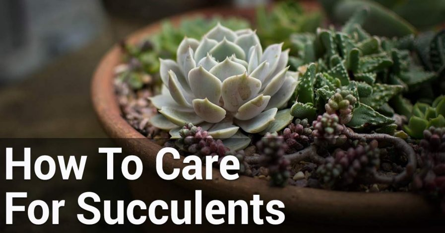 How To Care For Succulents Essential Home And Garden