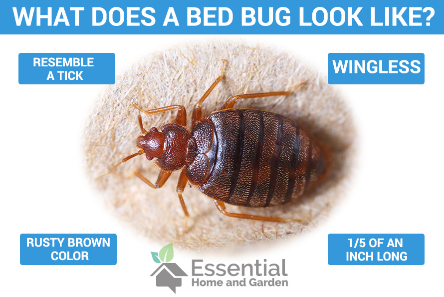 5 Ways To Get Rid Of Bed Bugs Naturally Essential Home And Garden