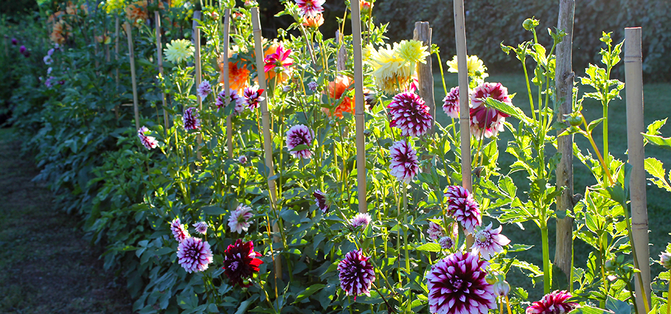 pet friendly plants dahlias