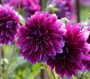safe plants for cats decorative dahlias