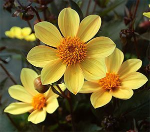 single flowering dahlias