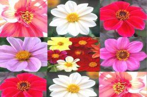 single flowering dahlias