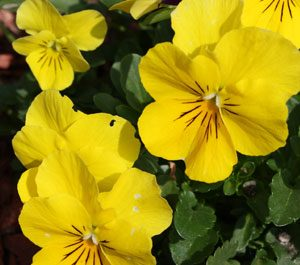 yellow pansy safe plants for cats