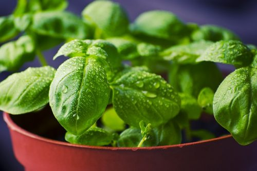 is basil easy to grow