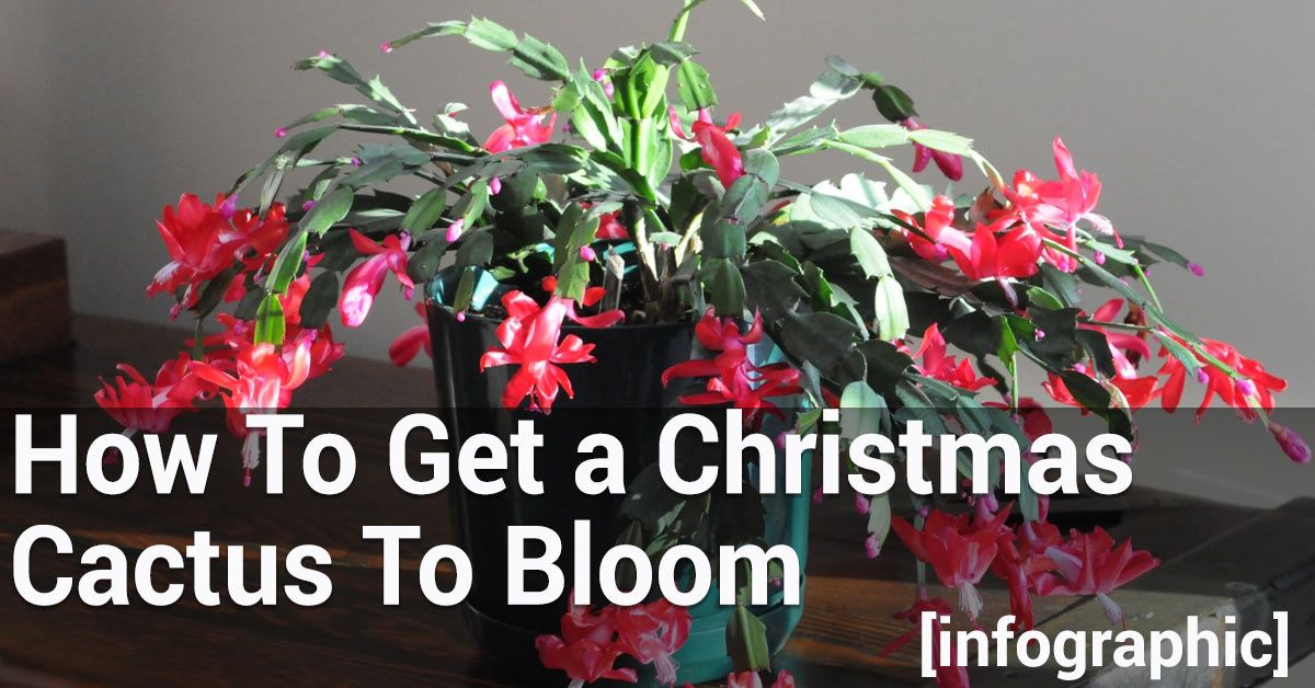 how to get a christmas cactus to bloom essential home and garden. Black Bedroom Furniture Sets. Home Design Ideas