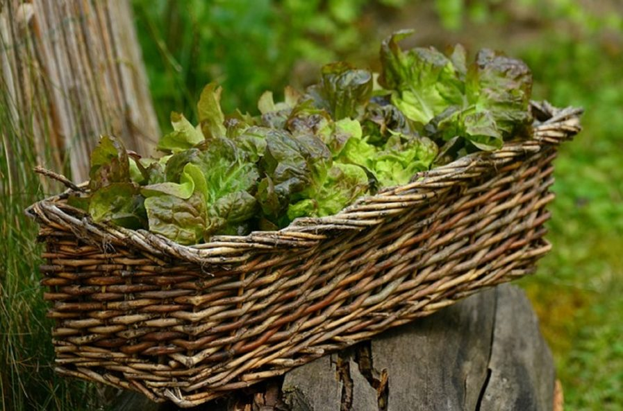 is lettuce easy to grow