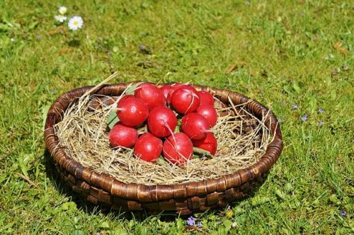 are radishes easy to grow
