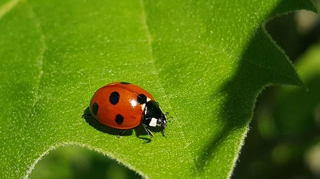 lady beetle organic pest control