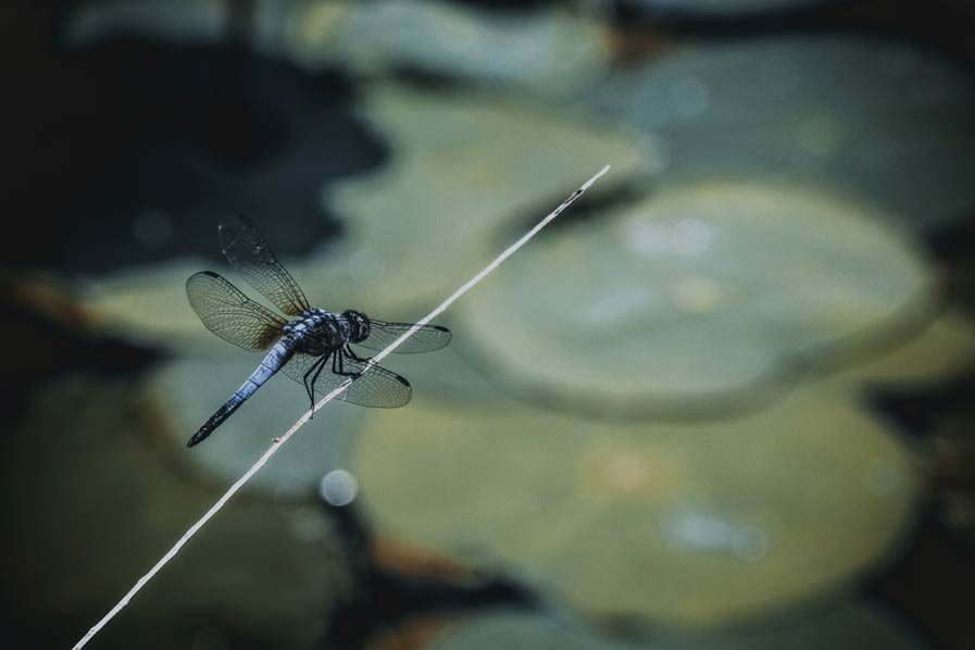 dragonflies are good for your garden