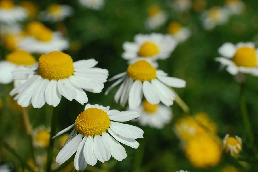 German Chamomile anti inflammatory