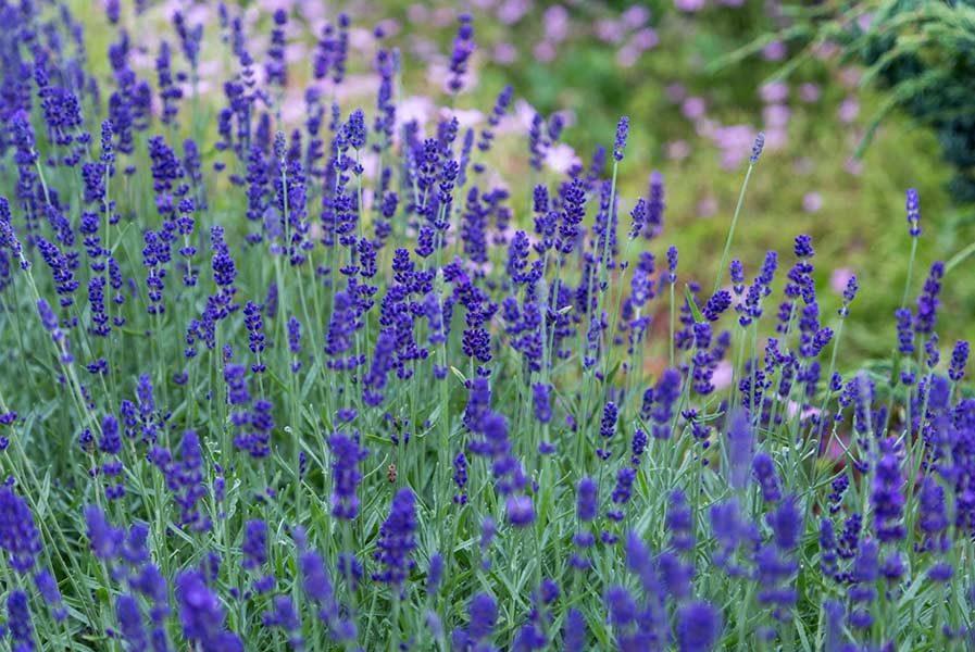 lavender healing plant
