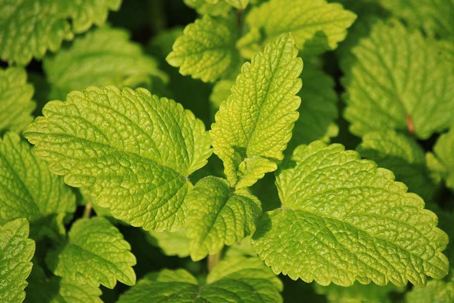 lemon balm acne