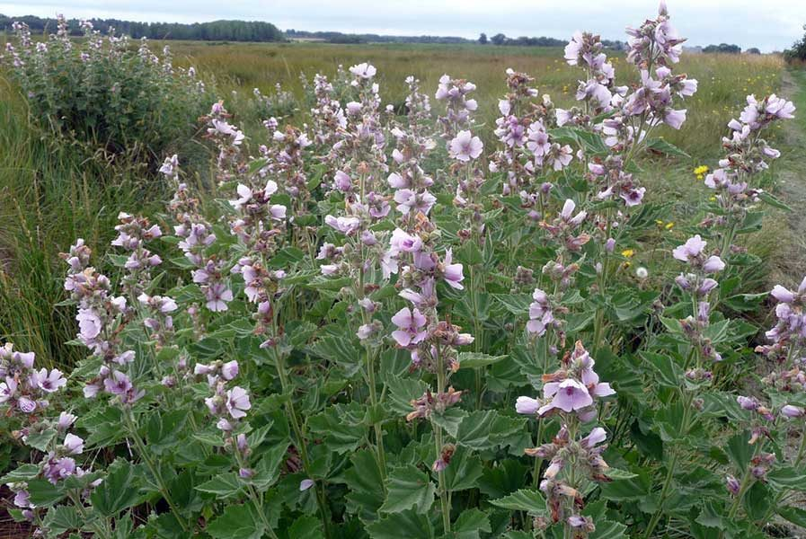 Marsh Mallow Plant