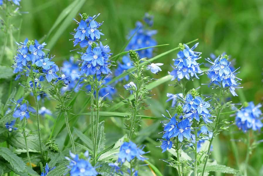 speedwell anti inflammatory