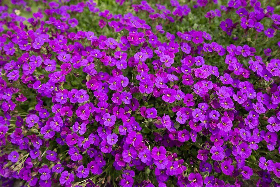 violet anti-inflammatory