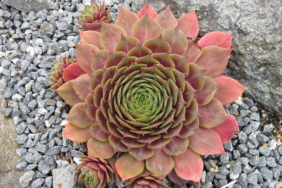 Sempervivum,