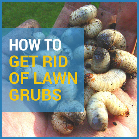 how to get rid of lawn grubs