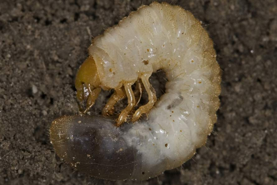 How To Get Rid Of Grubs Tips From A Pro Gardener