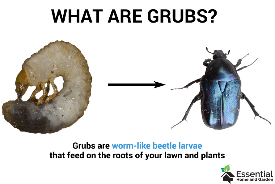 what are grubs