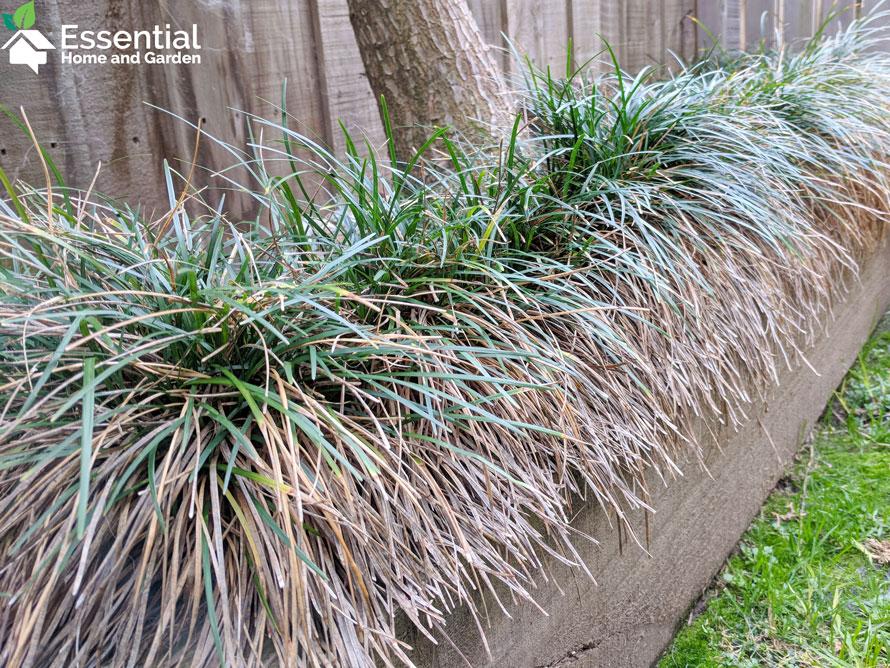Ophiopogon Japonicus Mondo Grass