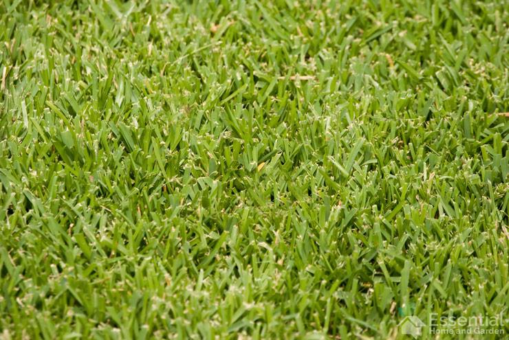 st augustine lawn