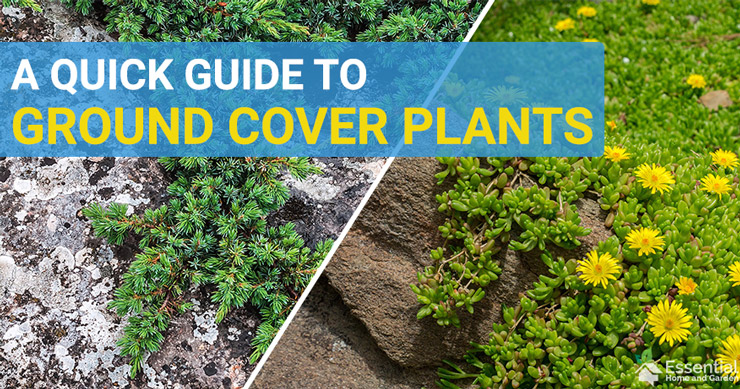 what is a ground cover plant