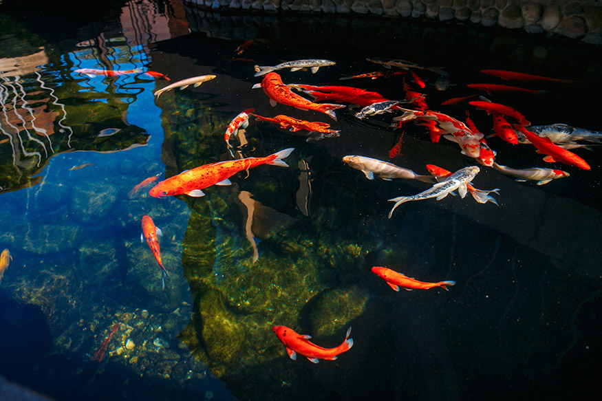 koi in a pond to kill mosquitos