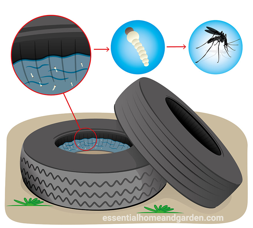 mosquito larvae in water in old tire