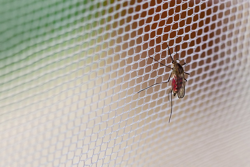 mosquito on mosquito net window