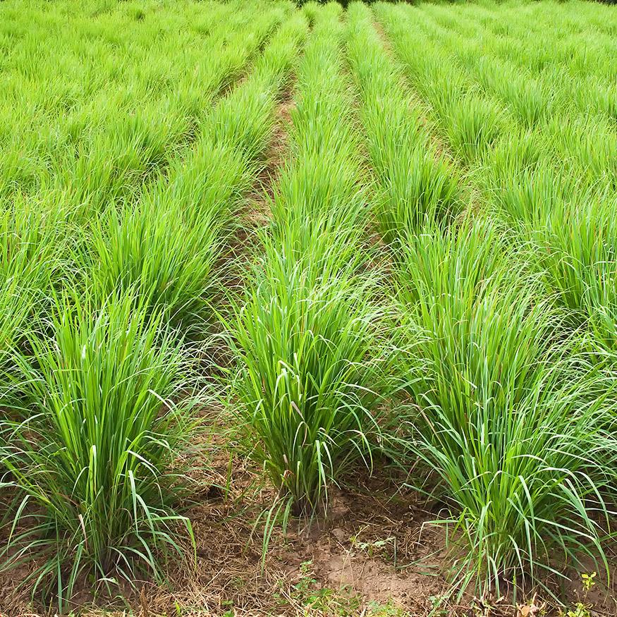 field of lemon grass