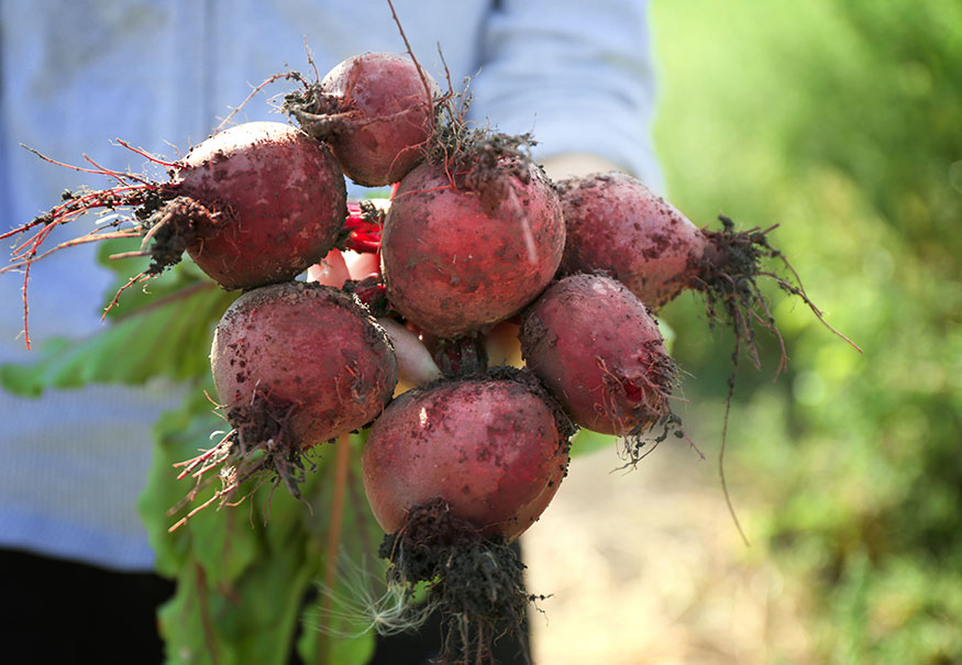 freshly harvested beetroot