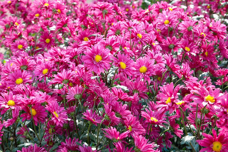 field of Chrysanthemums to keep mosquitos away