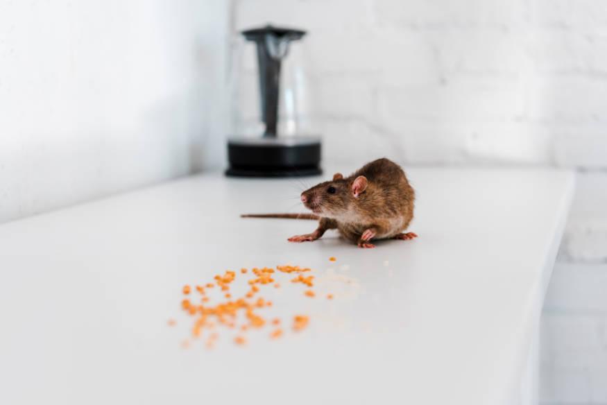 rat eating food on kitchen bench