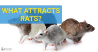 what attracts rats