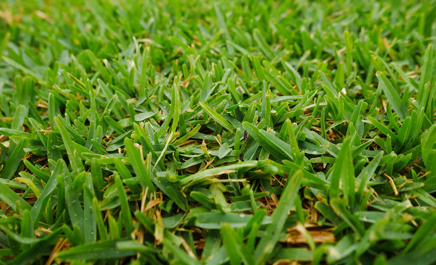 buffalo grass close up