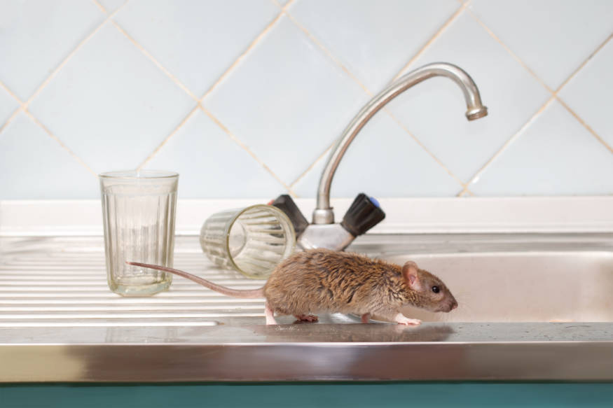 rat searching for water in a kitchen