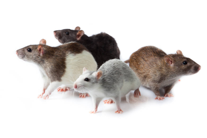 rats in a group