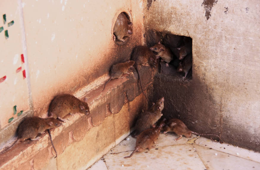 rats accessing a building through hole