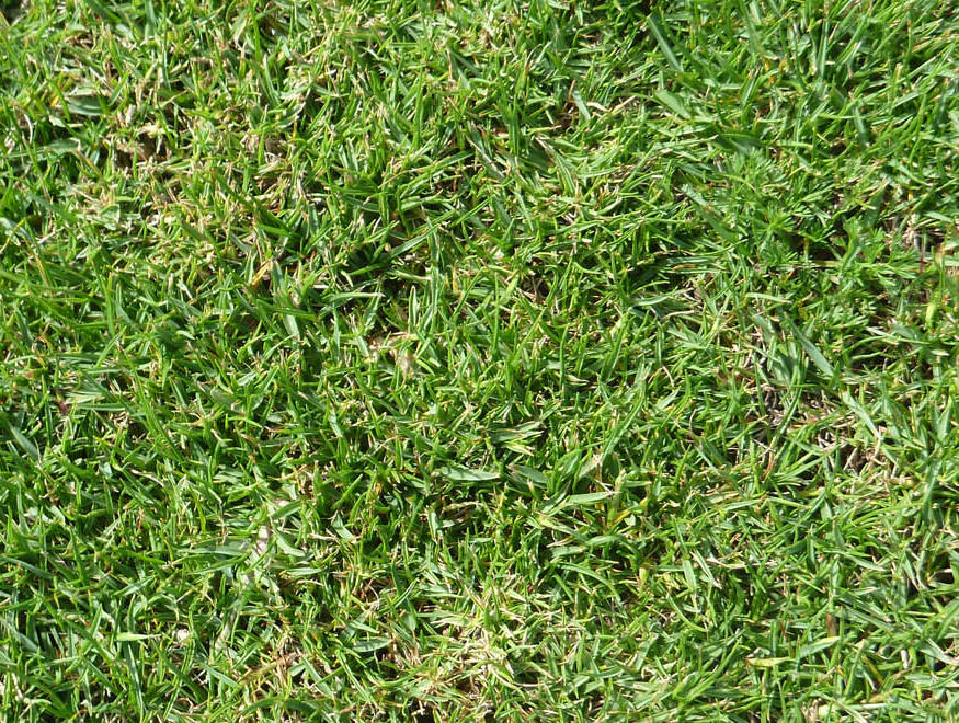 Seashore Paspalum – Seaspray