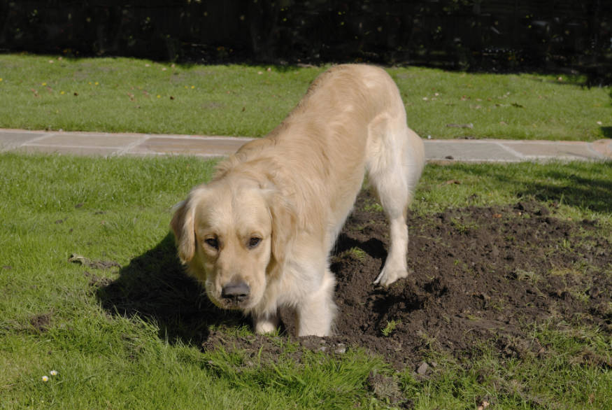 dog digging in lawn