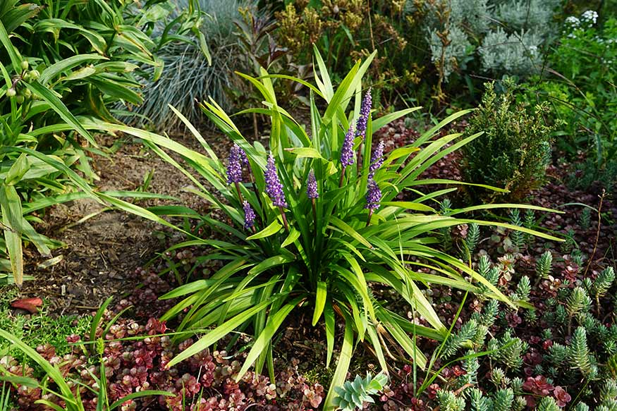 Border Grass (Liriope Muscari)
