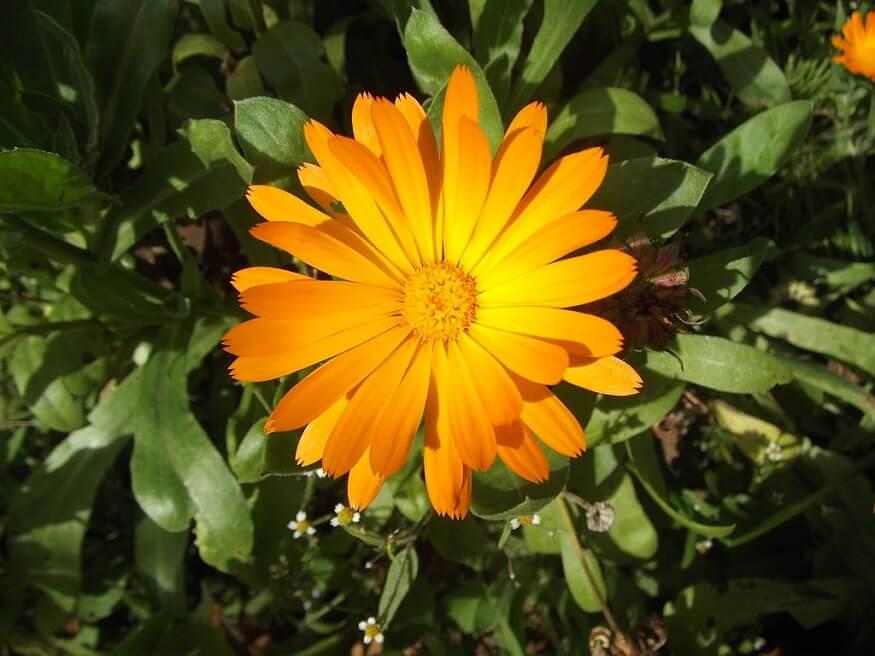 fast growing flowers calendula