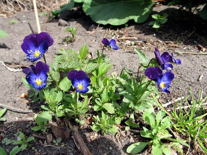 fast growing flowers johnny jump ups