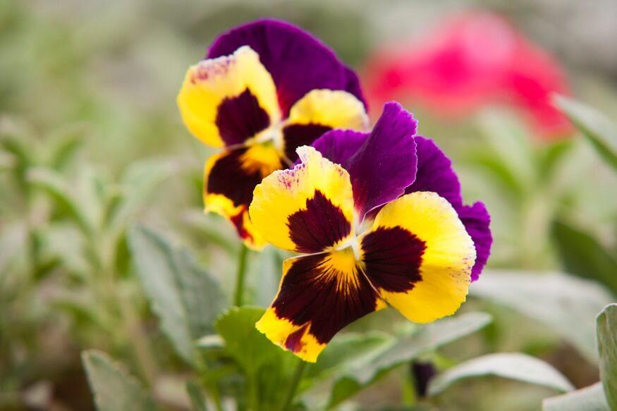 fast growing flowers pansies