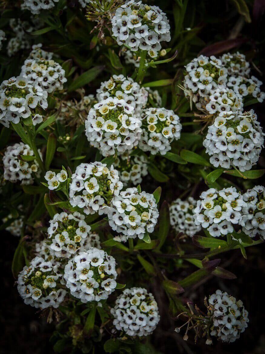 fast growing flowers
