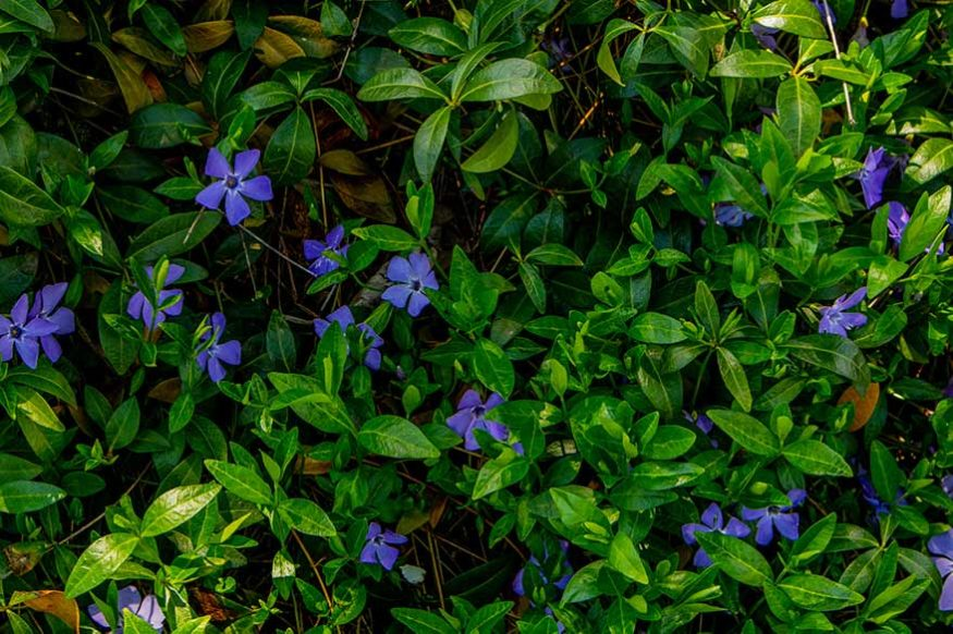 Creeping Myrtle (Vinca minor)