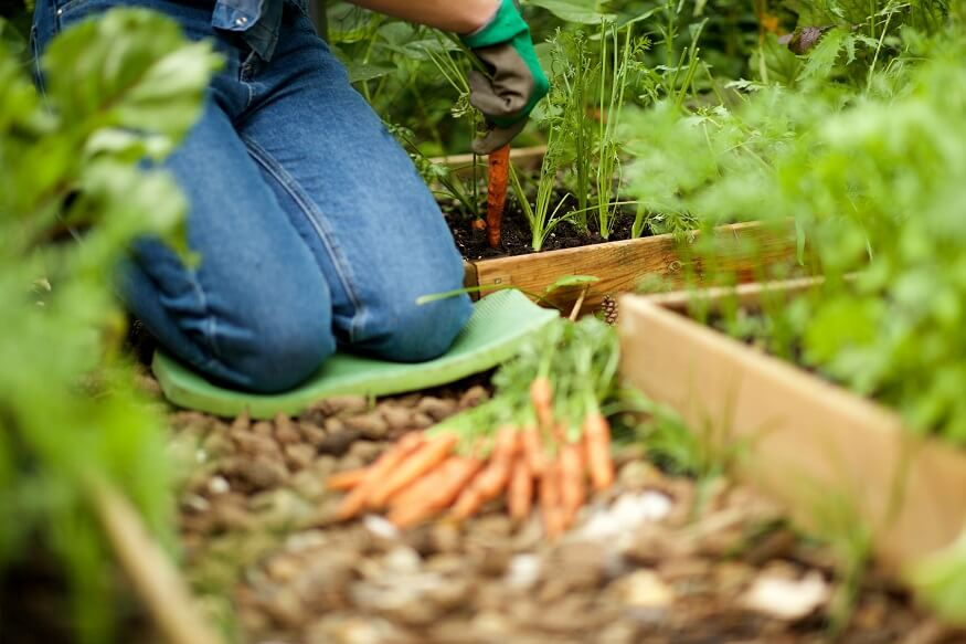 gardener kneeling down while digging carrots